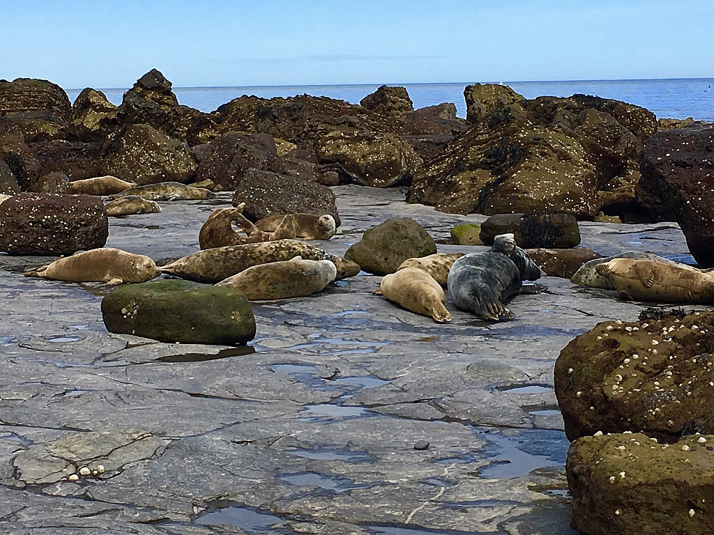 52 Ways to Enjoy Robin Hood's Bay: #4 Discover a Colony of Seals